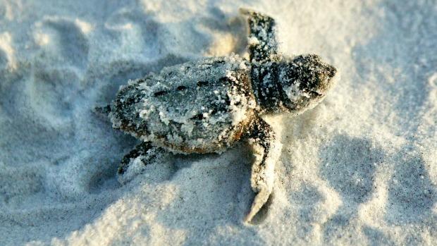 Gulf County sea turtle